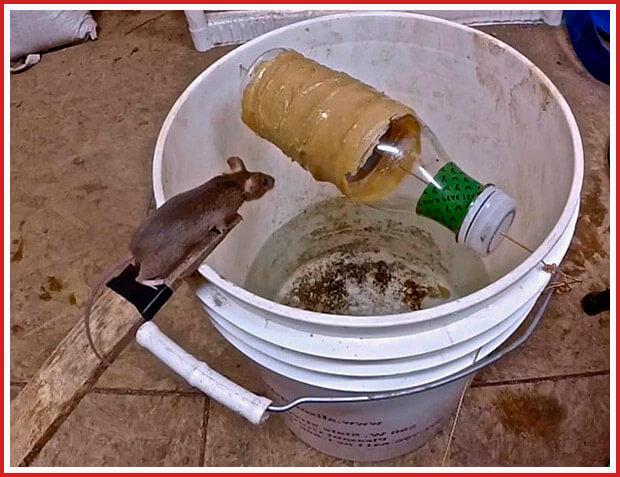 Ловушка для крыс из бочки