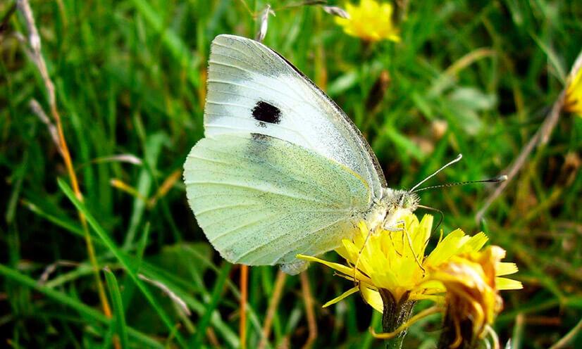 Бабочки-вредители: разновидности, продолжительность жизни, способы борьбы