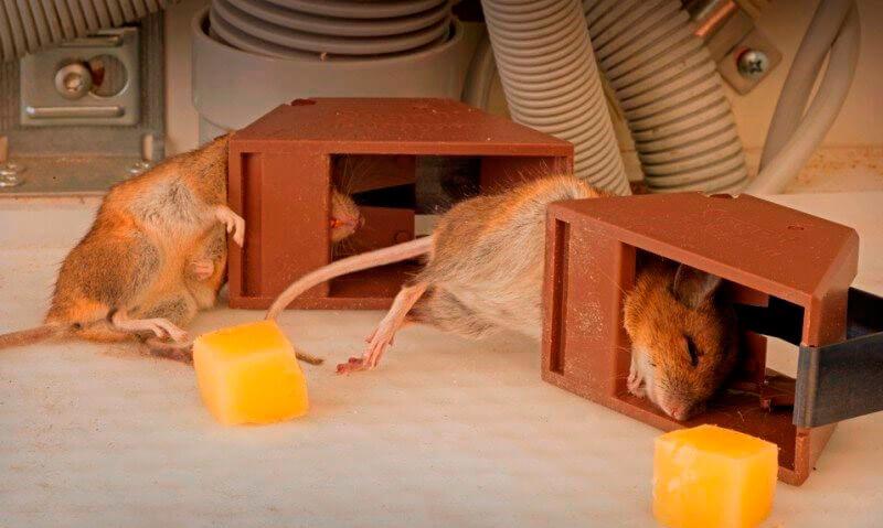 Мышеловки крысоловки своими руками