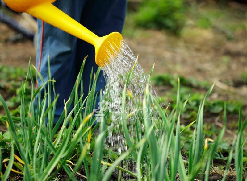 Нашатырь в огороде: особенности применения и отзывы
