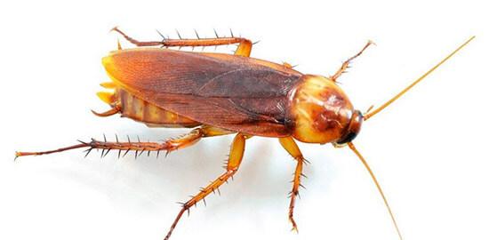 Таракан домашний - фото