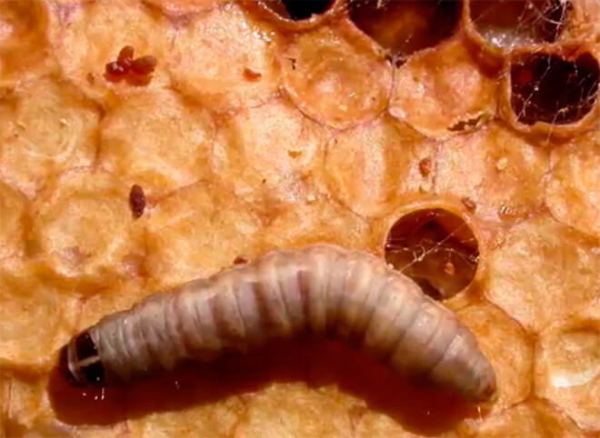 Вред пчелиной моли