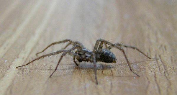 Черные и белые пауки в доме