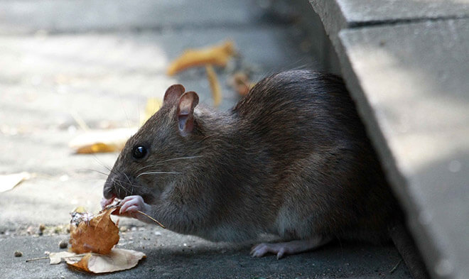 Как бороться с крысами?