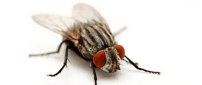 Разновидности мух