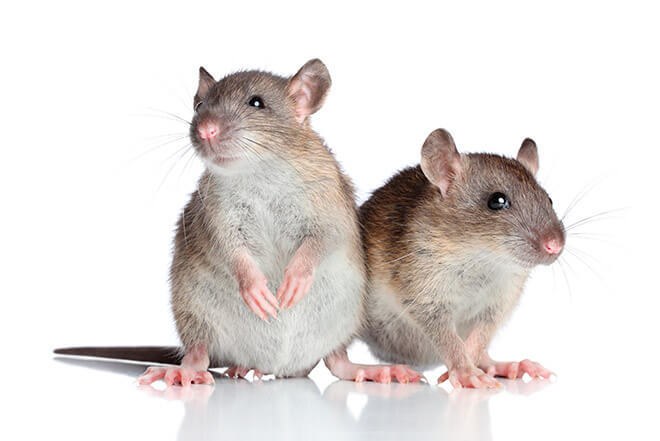 Запахи для отпугивания крыс