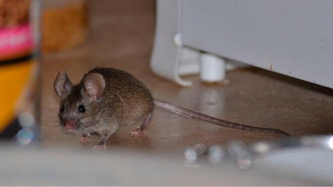 Боятся ли мыши света