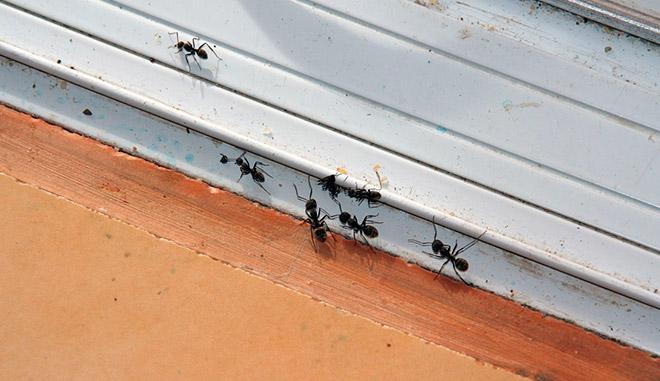 Чем опасны муравьи в доме?