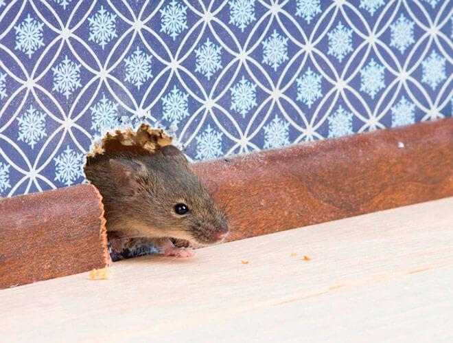 Причины появления мышей в доме