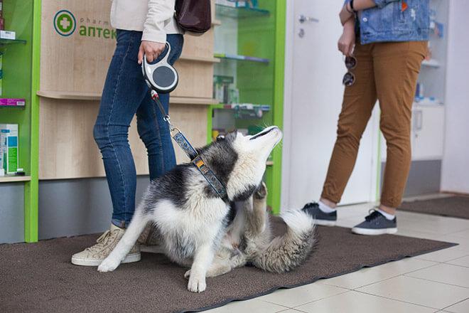 Собака или щенок чешется, но блох нет