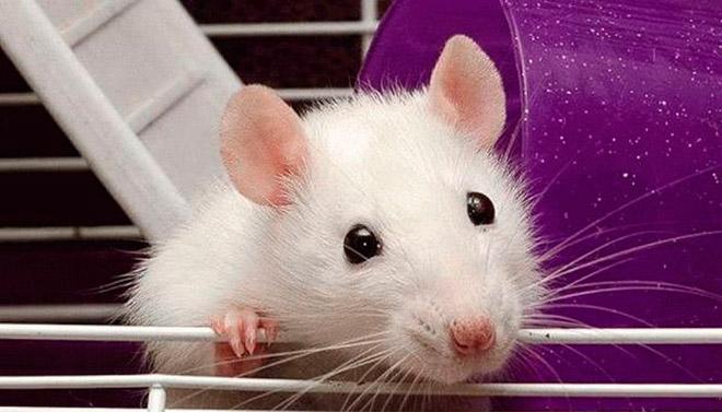Как появились домашние крысы?