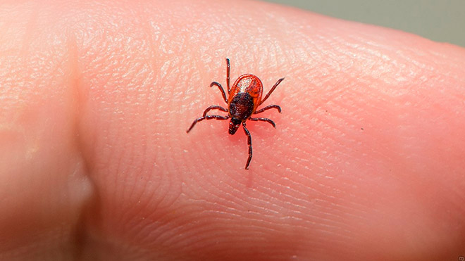 Опасные болезни животных вызываемые клещами