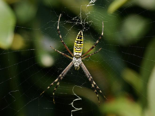 Паук черно желтый в полоску или аргиопа