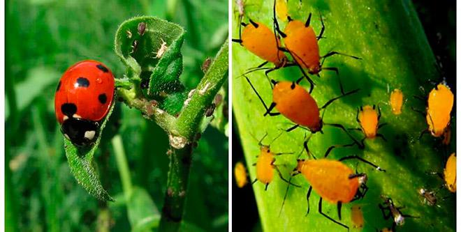 Какие насекомые помогут избавиться от тли?