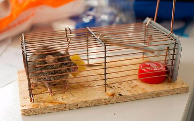 Как поймать крысу: способы ловли грызуна в домашних условиях, покупные и самодельные ловушки