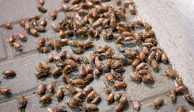 Сняться жуки