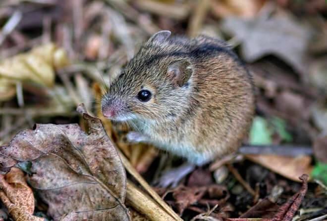Вред от мышей на участке, в огороде
