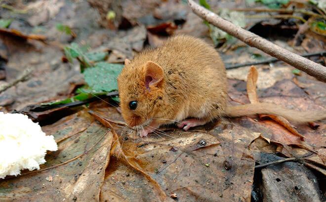 как избавиться от мышей в саду?