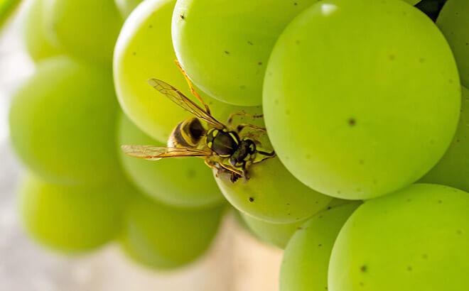 Какие сорта винограда не едят осы?