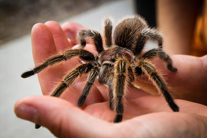 Черный тарантул в роли домашнего животного