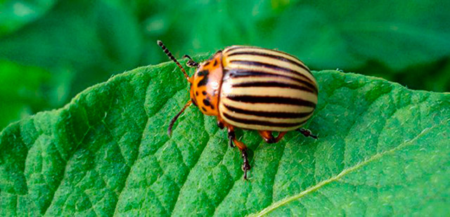 Колорадский жук - описание насекомого