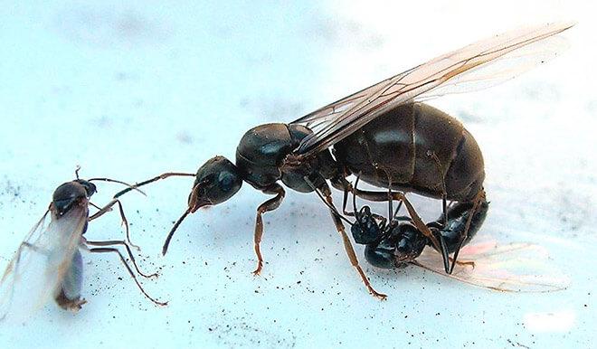 Как выглядит гнездо домашних муравьев