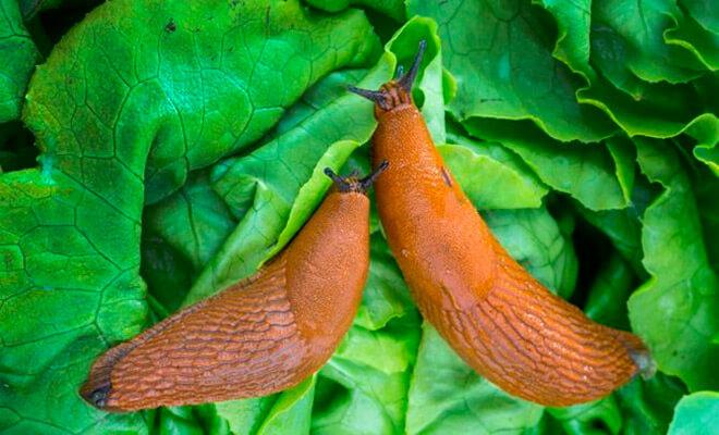 Что ест слизень, как размножается, как с ним бороться?