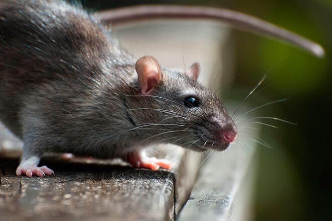 Приснилась крыса