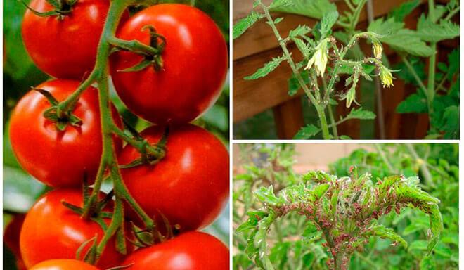 Тля на помидорах